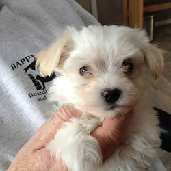 Havanese Puppies Sioux Falls SD
